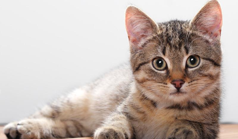 Czy znasz się na rasach kotów?