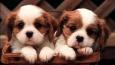 Czy znasz się na rasach psów?