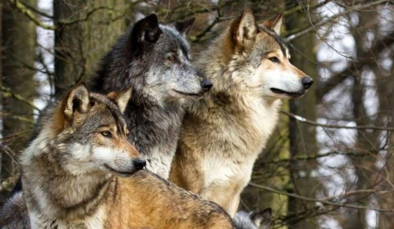 Jakim wilkiem jesteś?