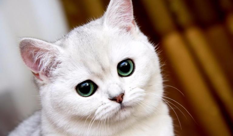 Jakiej rasy jest Twój wewnętrzny kot?