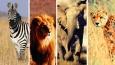 Jakim afrykańskim zwierzakiem jesteś?