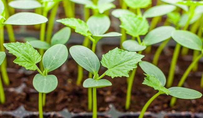 Gdybyś był rośliną, w jakim tempie byś kiełkował?
