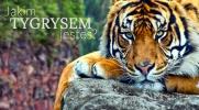 Jakim tygrysem jesteś?