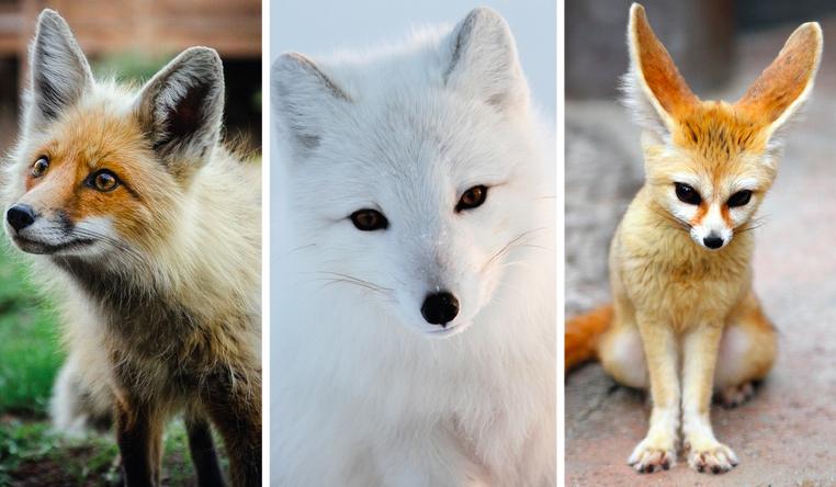 Którym lisem jesteś?