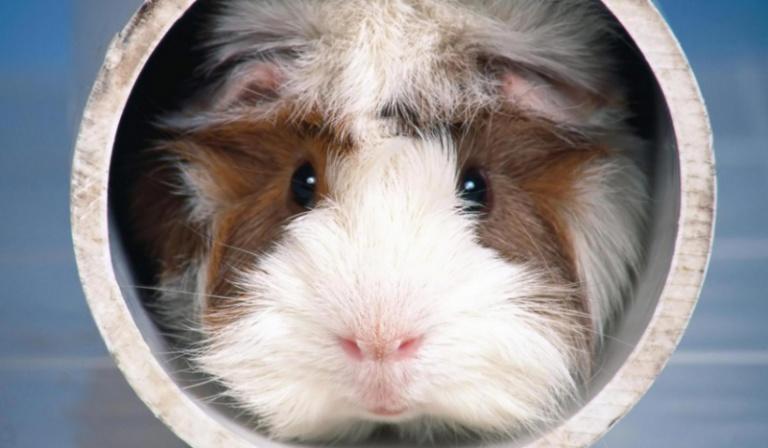 Test wiedzy o świnkach morskich.