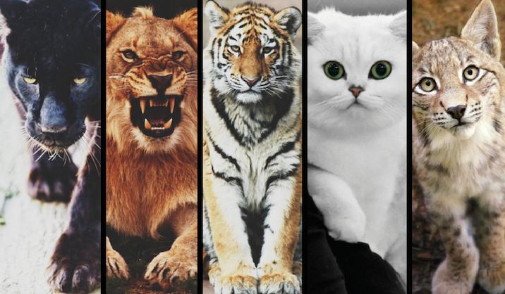 Którym kotem jesteś?