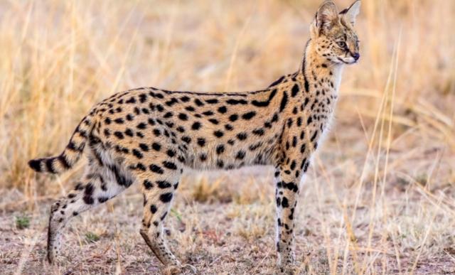 Puma vs Randki Gepard
