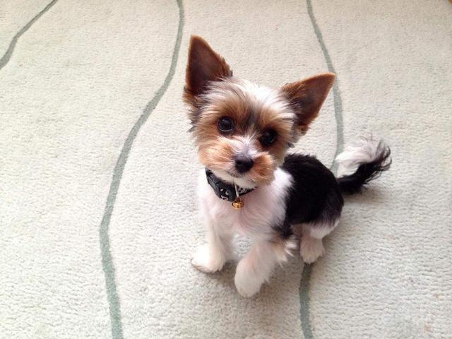 Aktualne Jak dobrze znasz małe rasy psów z udziałem PIESŁA? | sameQuizy ZZ08
