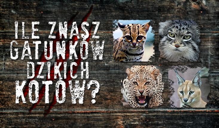 Ile znasz gatunków dzikich kotów?