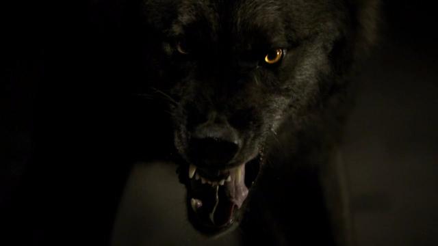 Znalezione obrazy dla zapytania pamiętniki wampirów wilkołak