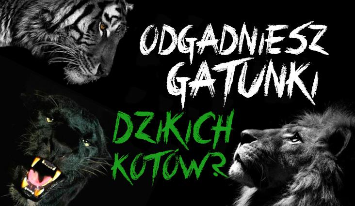 Czy rozpoznasz gatunki dzikich kotów?
