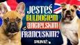 Jesteś buldogiem francuskim czy angielskim?