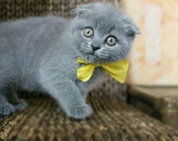 Kot Szkocki Zwisło Uchy