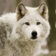 Wolf_Girl