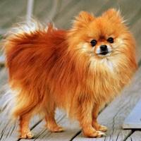 Rasy Psów Bardzo Małe Psy