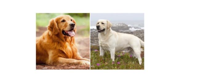 Czy golden retriever to labrador