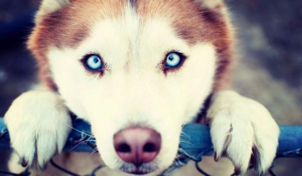 Картинки по запросу сибирская хаски с голубыми глазами