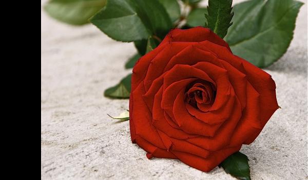 Wiersz O Róży Samequizy
