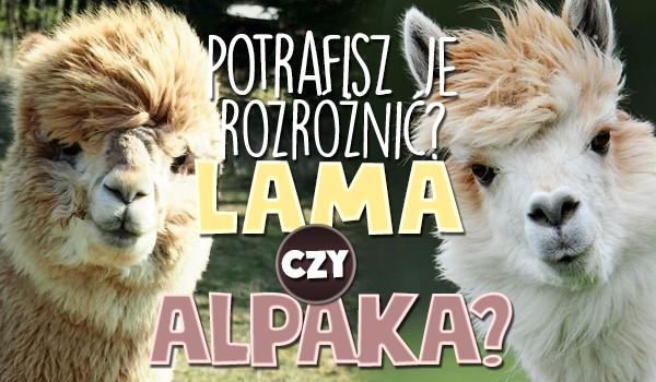 Alpaka czy lama?