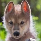 wilczyca3333
