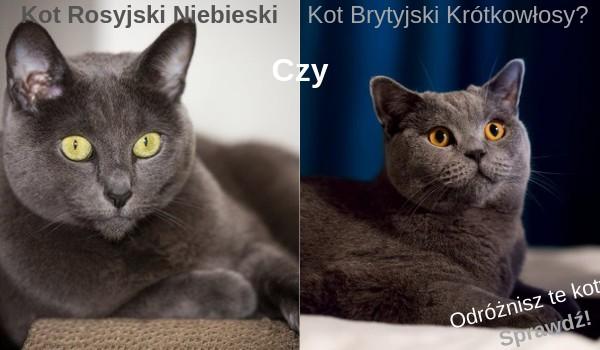 Kot Rosyjski Niebieski Czy Brytyjski Krótkowłosy