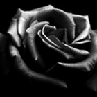 Black.Rose.