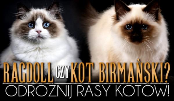Ragdoll czy kot birmański? Odróżnij rasy kotów! – Test na czas!