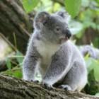 koala0027