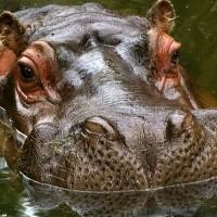 Wiersze Jana Brzechwy Czxi Hipopotam Samequizy