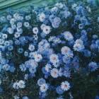 blue.flowers