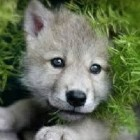 WolfieQuiz