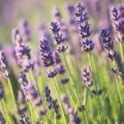 lavender_flovver