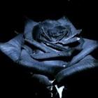 _xxBlack-Rosesxx