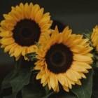 __Sunflower