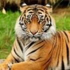 Nadia_Tiger