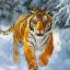 Wild_tiger