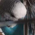 papuga._.falista