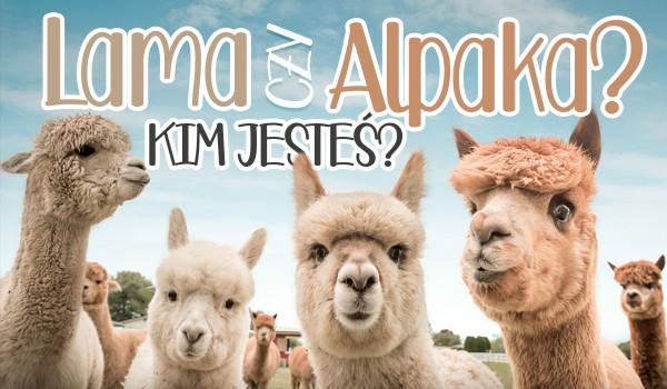 Alpaka czy lama? Które zwierzę bardziej przypominasz?