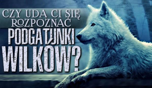 Czy uda Ci się rozpoznać podgatunki wilków?