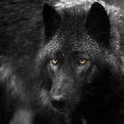 wildwolfy