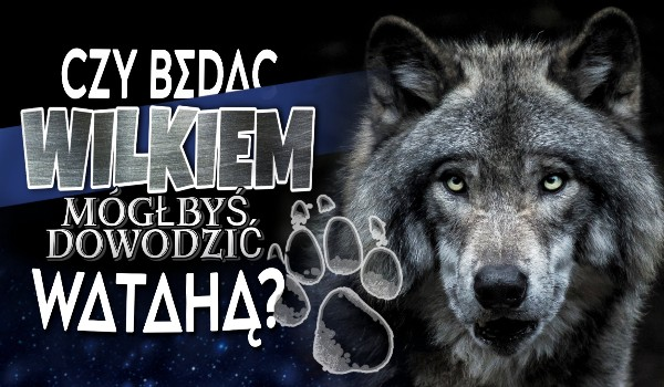 Czy będąc wilkiem mógłbyś dowodzić watahą?