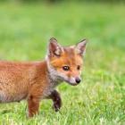 Fox_fox
