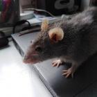 Szczurek_churek