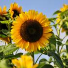 Sunflower_09