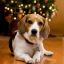 Christmas_Beagle