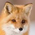 Foxsis...