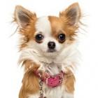 Chihuahua_z_Kalos