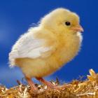 Kurczaczek22