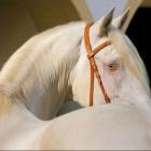 Gray.horse