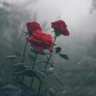 mj_rose